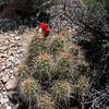 Echinocereus (triglochidiatus) mohavensis (Mohave kingcup cactus) - BLM RTE Carbonate species Cushenbury Canyon