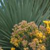 Ericameria nauseosa (rabbitbrush) - RSABG