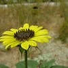 Helianthus annuus (common sunflower) with pollinator RSABG - 3