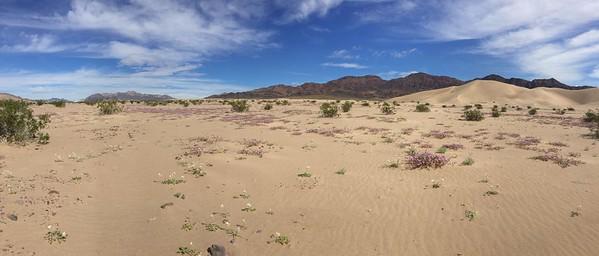 Abronia villosa (desert sand verbena) and brown eye primrose Ibex Dunes - Death Valley 2016 Superbloom