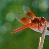 RSABG dragon fly at upper pond (possibly a cardinal meadowhawk - Sympetrum illotum)  - 03