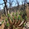 Turricula parryi (poodle dog bush)Trip to Kernville - 59
