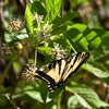 swallowtail butterfly nectaring on button willow flowers Salt Creek summer morning walk  - 1