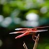 RSABG dragon fly at upper pond (possibly a cardinal meadowhawk - Sympetrum illotum)  - 01