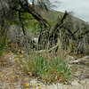 Eriogonum elongatum (long stemmed buckwheat) - 2