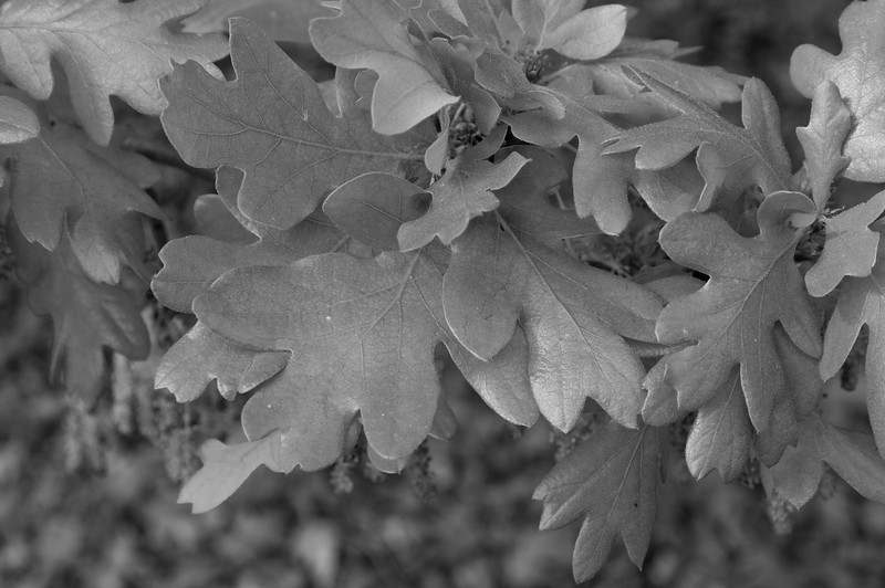 Quercus garryana RSABG - 5