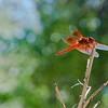RSABG dragon fly at upper pond (possibly a cardinal meadowhawk - Sympetrum illotum)  - 02