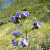 Phacelia distans (wild heliotrope) with flower fly - Bautista Creek