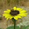 Helianthus annuus (common sunflower) with pollinator RSABG - 1