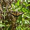 Salt Creek Road - swallowtail butterfly nectaring on button brush flowers - Salt Creek
