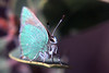 Callophrys dumetorum
