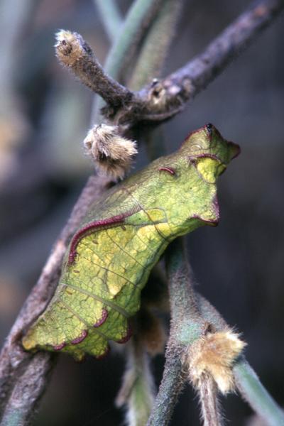 Papilio philenor chrysalis