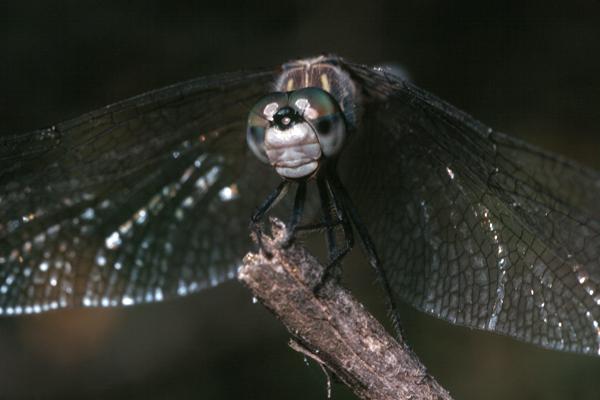 Pachydiplax longipennis (female)