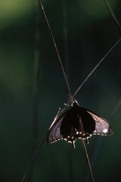 Papilio philenor