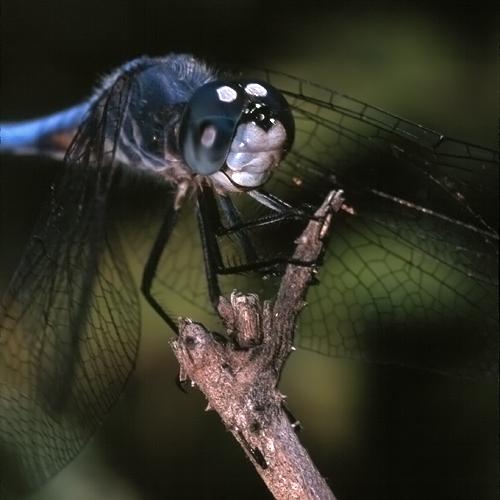Pachydiplax longipennis (male)