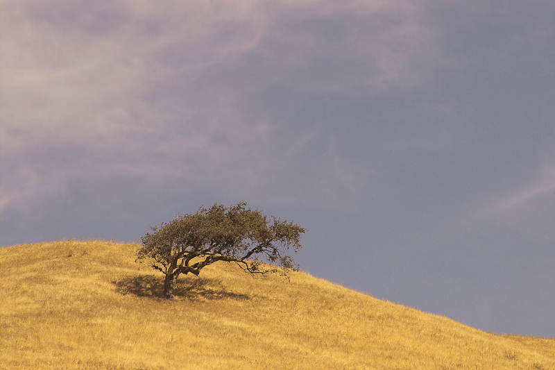 Golden Hill with Oak