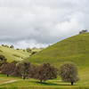 California Oak