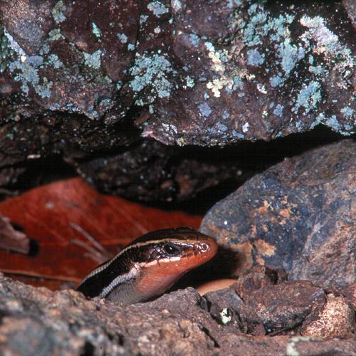 Eumeces skiltonianus