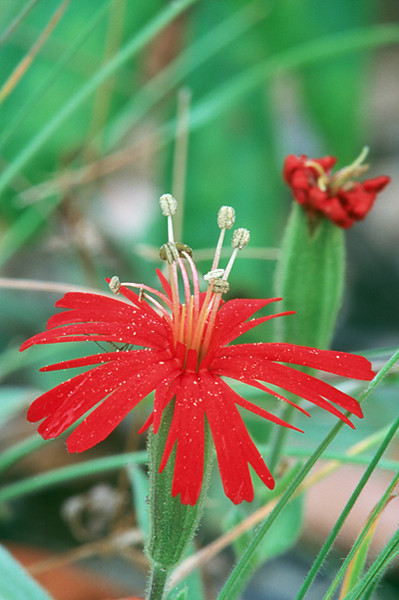 Silene californica
