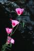 Clarkia gracilis sonomensis