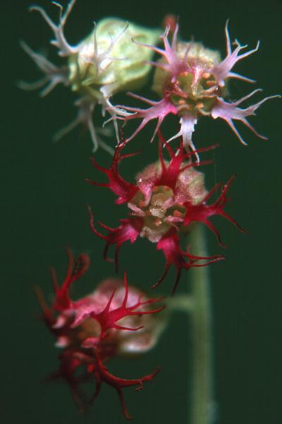 Telima grandiflora