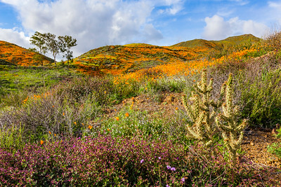 Wild California Poppy fields in Walker Canyon in Lake Elsinore