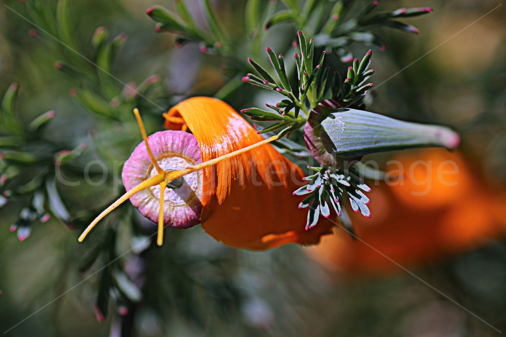 Poppy Petal