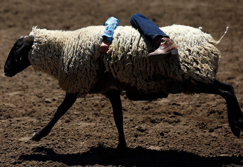 . Jenssy Torres, 7, hangs on to her sheep while competing in the mutton busting event during the California Rodeo Salinas at the rodeo grounds in Salinas on Saturday July 22, 2017. (David Royal/Herald Correspondent)
