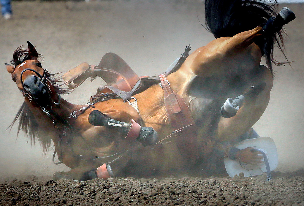 . Rowdy Thames\' horse rolls over on him while he was hazing for a competitor during the steer wrestling eventduring the finals of the California Rodeo Salinas at the rodeo grounds in Salinas on Sunday July 23, 2017. Both Thames and his horse walked away from the crash. (David Royal/Herald Correspondent)