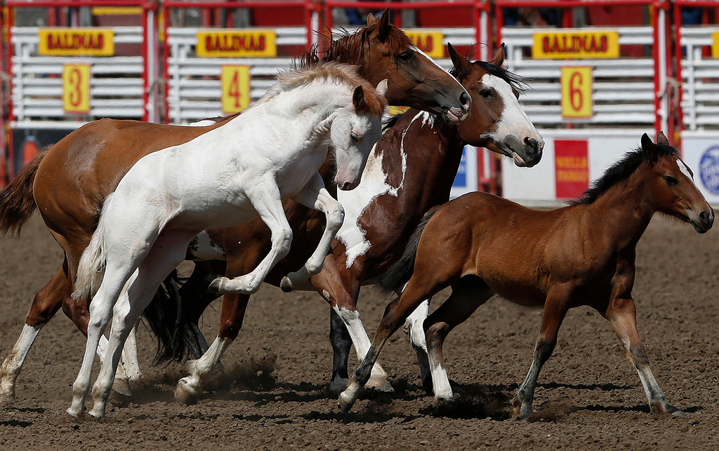 . Young horses run through the main arena during a break during finals of the California Rodeo Salinas at the rodeo grounds in Salinas on Sunday July 23, 2017. (David Royal/Herald Correspondent)