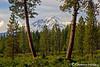 Shasta Pines