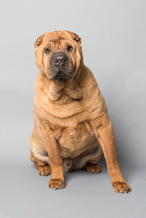 California Shar  Pei Rescue