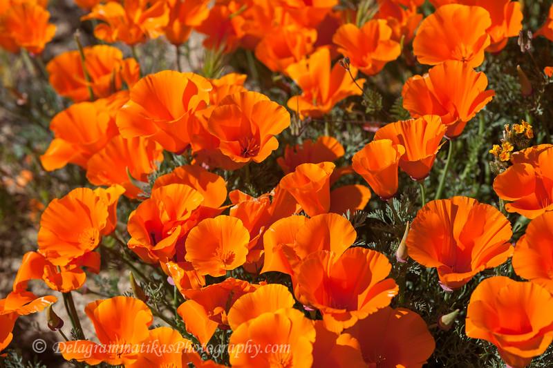 20190413_Antelope Valley Poppy Reserve_6911