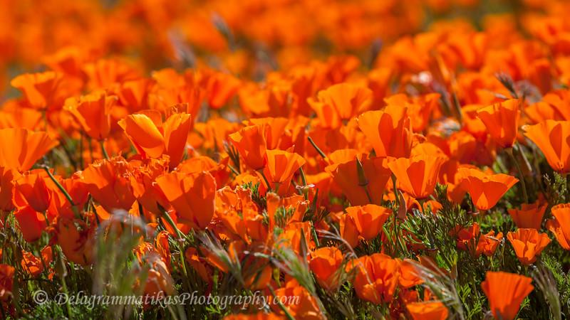 20190413_Antelope Valley Poppy Reserve_6927