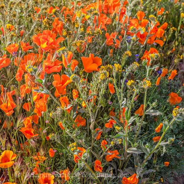 20190413_Antelope Valley Poppy Reserve_7003