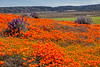 20190413_Antelope Valley Poppy Reserve_6978