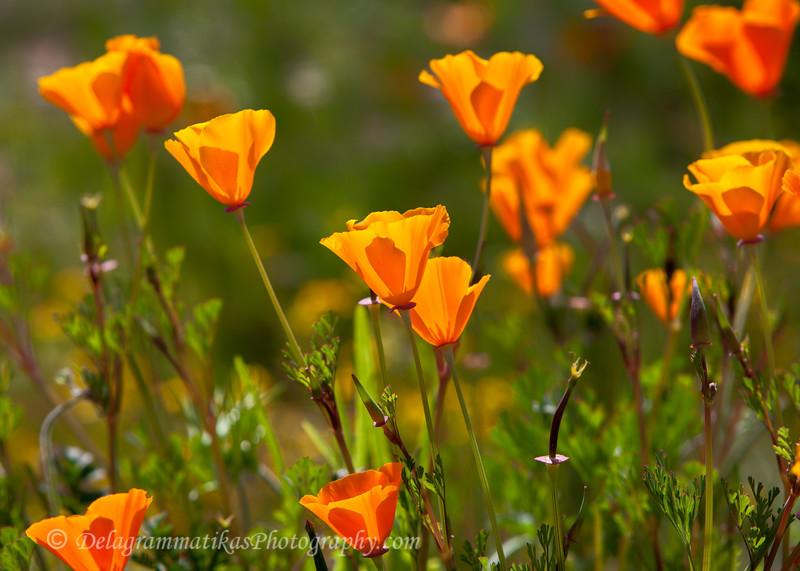 20190322_2019 Wildflowers_6620