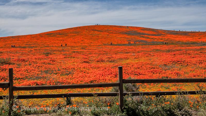 20190413_Antelope Valley Poppy Reserve_6898