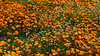 20170314_SoCal Spring Flowers_0854