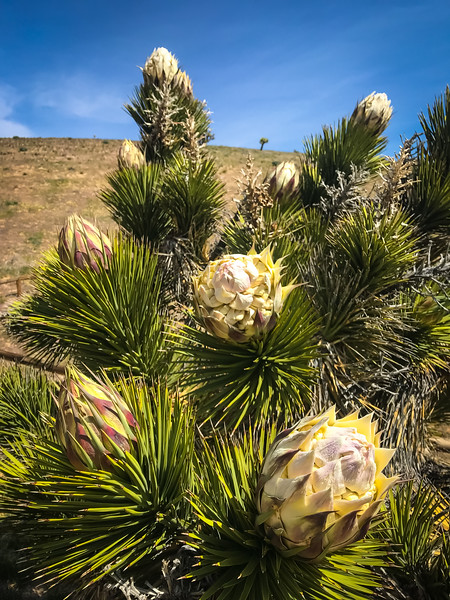 ... and I have never seen blooms such as these on a Joshua Tree