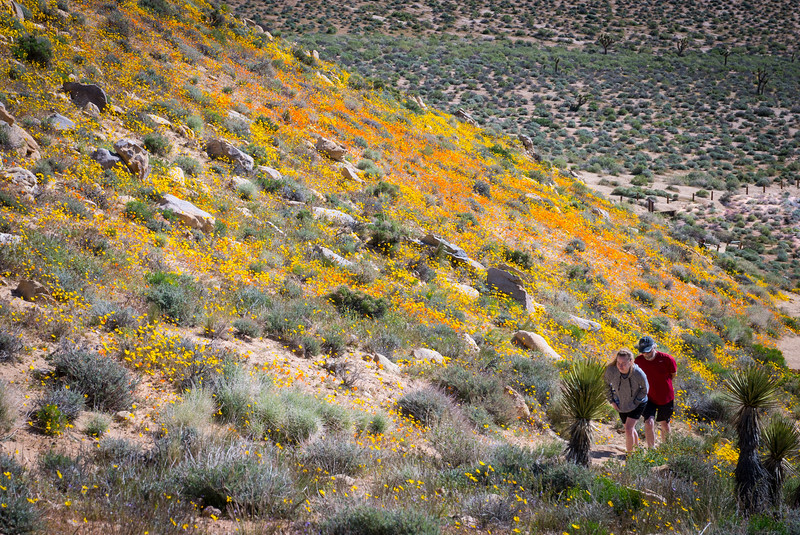 The beauty of Short Canyon is that a very short walk from the trail head to the top of the first hill will get you the best of the bloom.