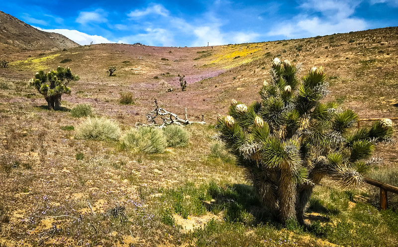 Even the Joshua Trees are in full bloom