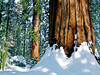Kings Canyon National Park...Giant Sequoia