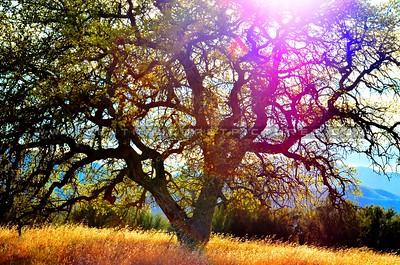 santa-margarita-oak-tree_6119