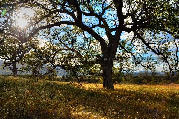 ca-valley-oak-tree_6113