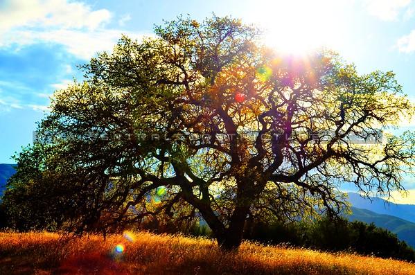 santa-margarita-oak-tree_6118