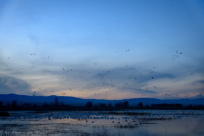Evening Fly-in, Sacramento NWR