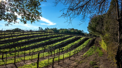 Kemmerer___Sun Drenched rows of a back country Russian River Vineyard