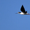 Black-necked Stilt - San Joaquin Wildlife Sanctuary