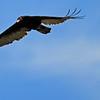 Turkey Vulture - San Joaquin Wildlife Sanctuary